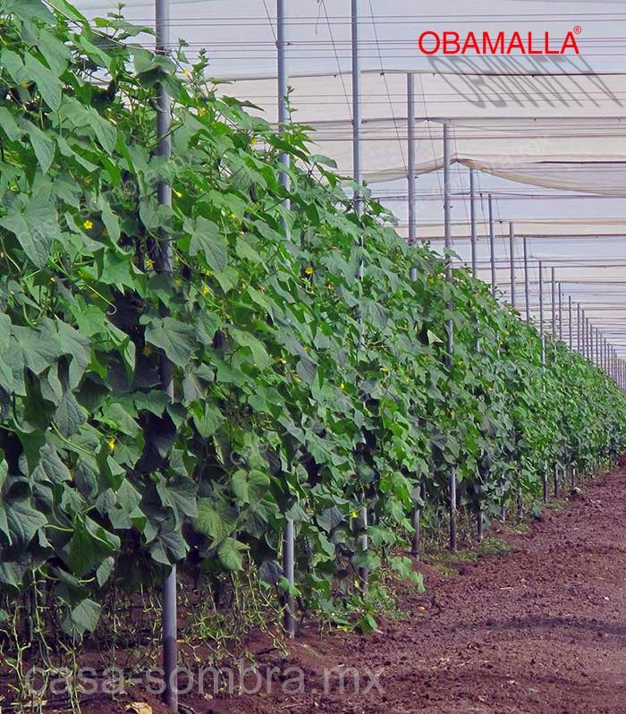 Cultivo de pepino protegido con casa sombra OBAMALLA