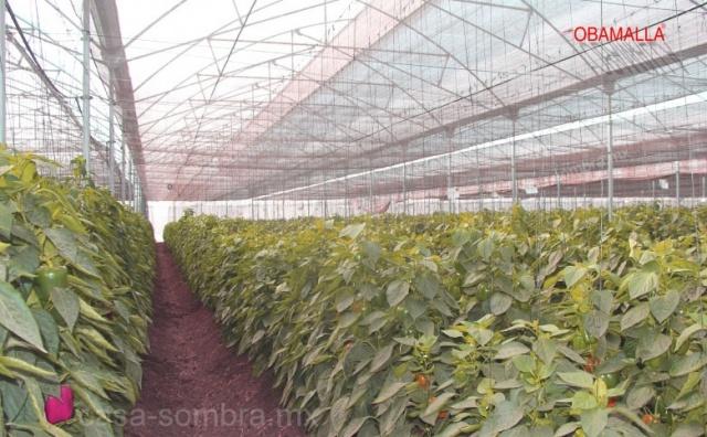 Cultivo de pimientos protegido con casa sombra  OBAMALLAS